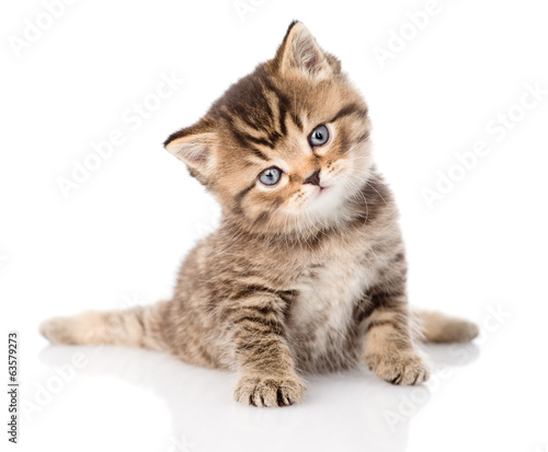 baby british tabby kitten sitting in front. isolated on white