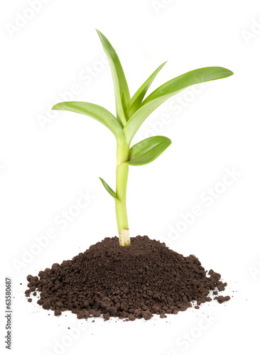 Fotobehang Planten new sprout and dirt isolated on white