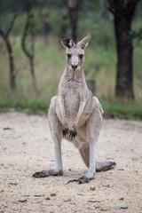 Grey kangaroo closeup