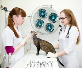 veterinarians examines a cat in the office