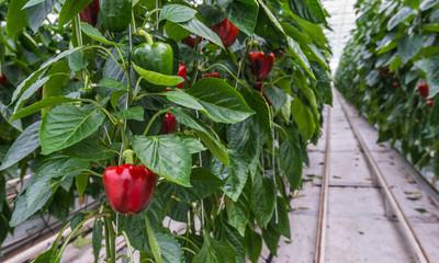 Hydroponic paprika cultivation