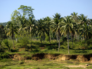 Palm landscape in Sri Lanka