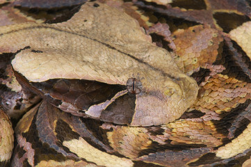 Gaboon viper / Bitis gabonica