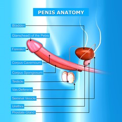 Anatomy of penis with names