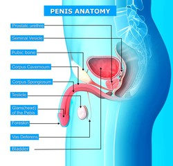 Anatomy of male urinary system with names