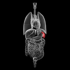 all organs x-ray of human body with highlighted spleen