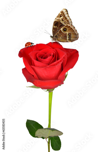 Red rose with butterfly and ladybug