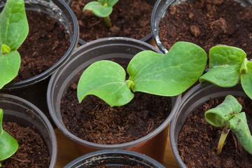 Pumpkin seedling in pot