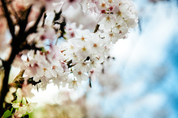 White plum blossom in spring - close-up shot