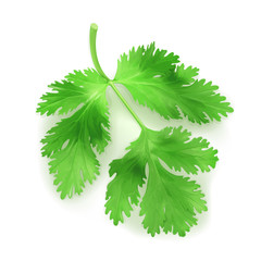 Fresh green leaves coriander, vector illustration