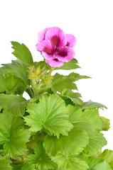 Pink geranium flower