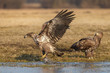 White-tailed sea eagle snatching a fish