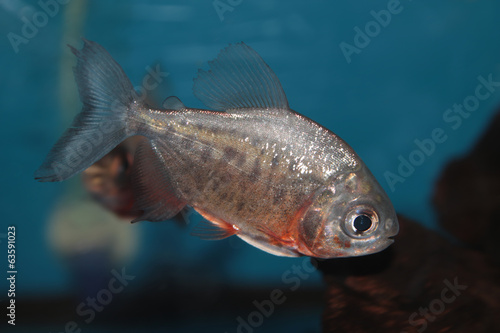Red-bellied pacu freshwater aquarium fish