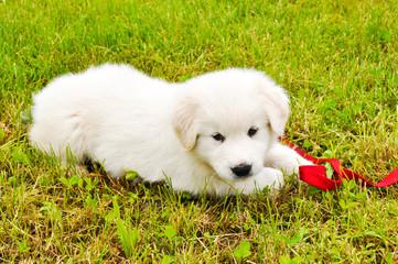 Hundewelpe-Hirtenhund
