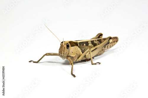 Left Side View of Patterned Grasshopper on White