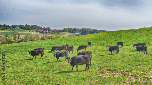 Cows in the field, HDR