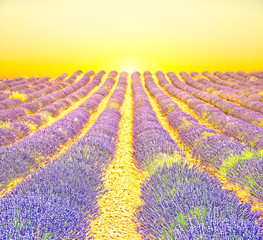 Sunrise in a lavender field