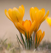Yellow Crocus Flower