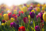 Field of Colorful Tulips in Bloom