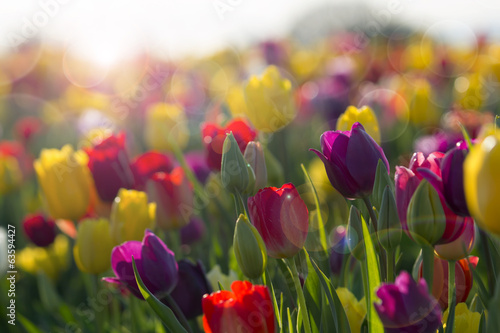 Foto op Canvas Tulp Field of Colorful Tulips in Bloom