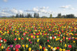 Field of Colorful Tulips Landscape