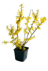 Forsythia intermedia Lynwood in pot on white background