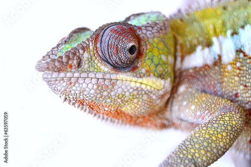 canvas print picture Panther Chameleon