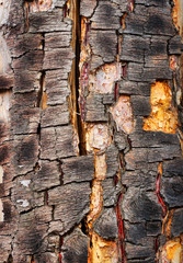 Old cracked bark of birch
