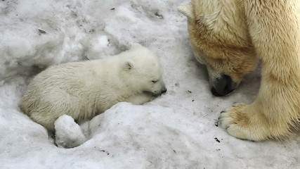 Polar She-bear cuddling to bear baby, flirting with him