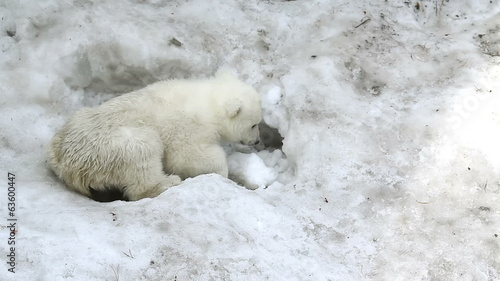 Polar Bear Baby digs a hole in the snow