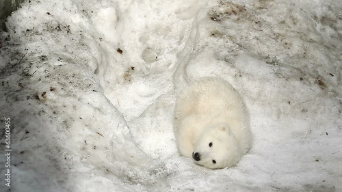 Polar Bear Baby was tired and fell asleep in the snow