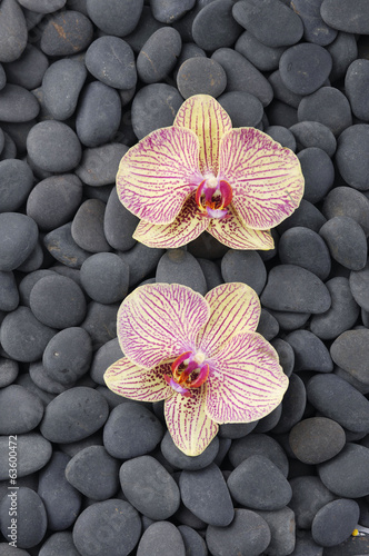 pink Gorgeous orchid on pebbles