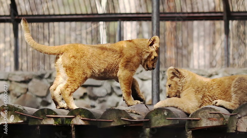Lion cubs playing at the zoo