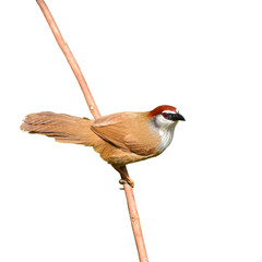 Chestnut-capped Babbler bird