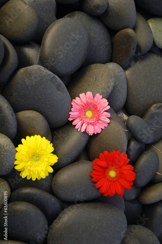 three colorful daisy gerbera flower on pebbles texture