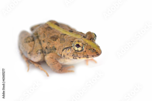 Common jungle frog