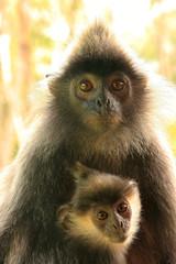 Silvered leaf monkey with a baby, Borneo, Malaysia