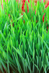 Closeup of Wheatgrass sprouts