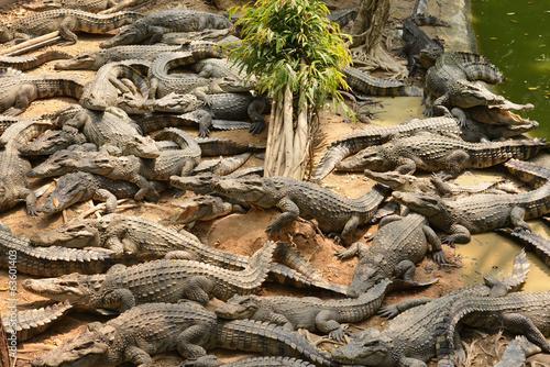Foto op Canvas Krokodil Crocodile,