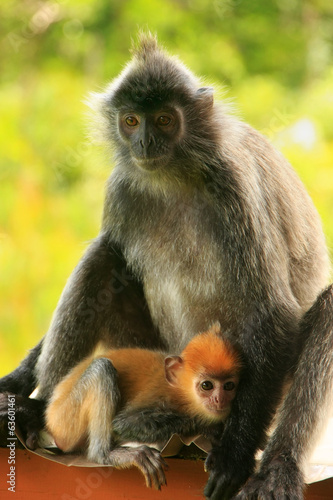 Silvered leaf monkey with a young baby, Borneo, Malaysia