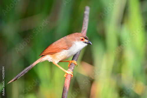 Yellow-eyed Babbler bird