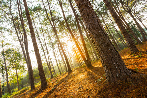 Morning Sunlight at pine forest