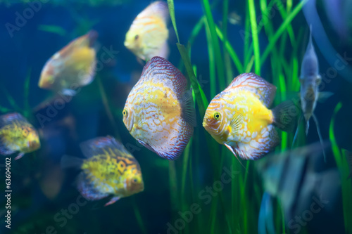 Few discus fish