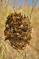 Hive of wasps, wasps nest