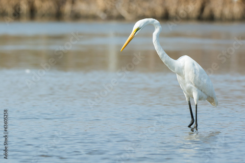 Great White Egret searching for fish
