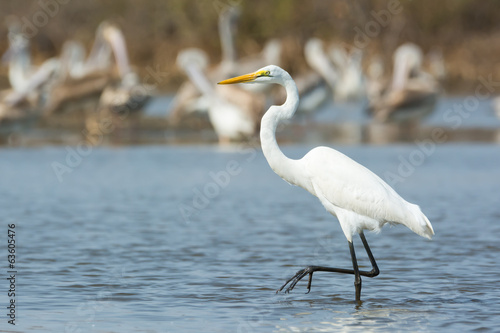 Great White Egret stepping past pelicans