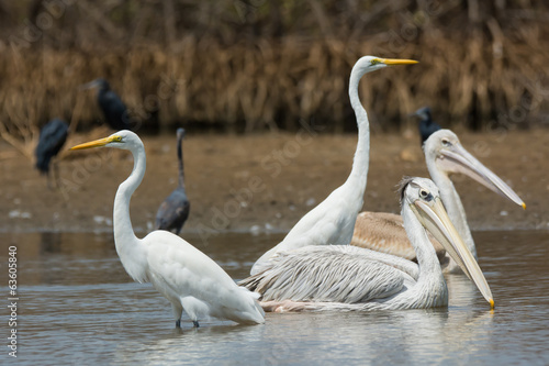 Mixed group of Pinked-Back Pelicans and Great White Egrets
