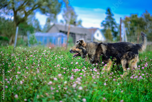 Large gray-black hairy dog running in clover meadow