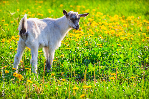 Baby goat on a green lawn at summer