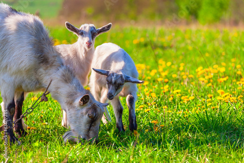 Goats on a green lawn at summer